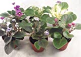 "Miniature African Violet - 5 Plants/2"" Pot"