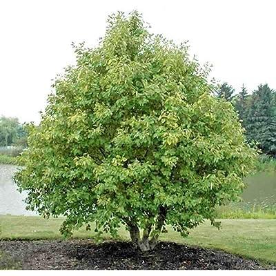 50 European Gray Alder Seeds #RDR02 : Garden & Outdoor