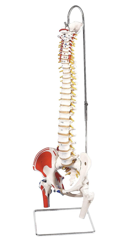 3B Scientific  A58/3 Modelo de anatomía humana Columna Flexible, Versión Clásica Pintada Con Cabezas + software de anatomía gratuito - 3B Smart Anatomy