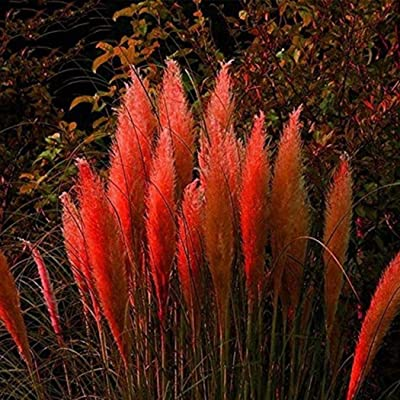 Seeds House- Caiuet American Pampas Grass Seeds Rare Ornamental Grass Colorful Flower Seeds Hardy Perennial, Great Moment for Your Garden : Garden & Outdoor