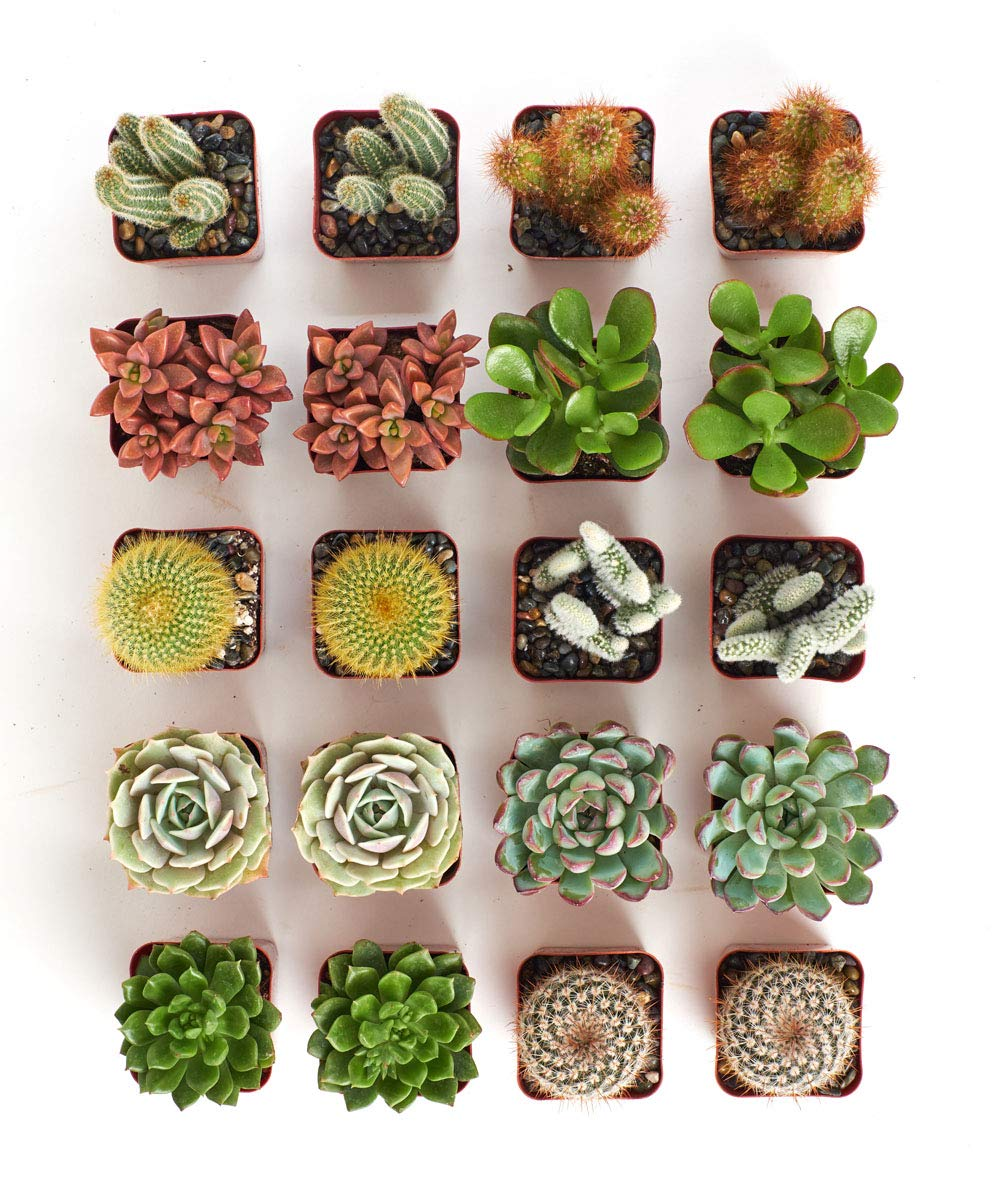 Hand Selected Variety Pack of Cacti and Mini Succulents Cactus /& Succulent Collection of Live Plants Shop Succulents Collection of 9