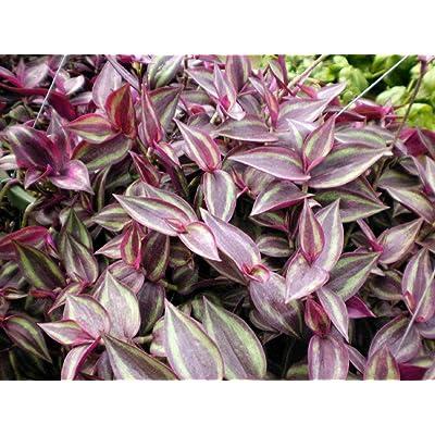 """AchmadAnam - Live Plant Burgundy Wandering Jew 4"""" Pots Easy to Grow Houseplant Indoor : Garden & Outdoor"""