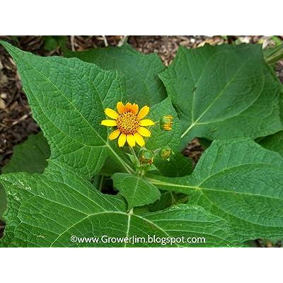 Cutdek YACON Ground Apple Smallanthus sonchifolius Live Rooted Starter Plant (1 YACON Starter Plant) : Garden & Outdoor