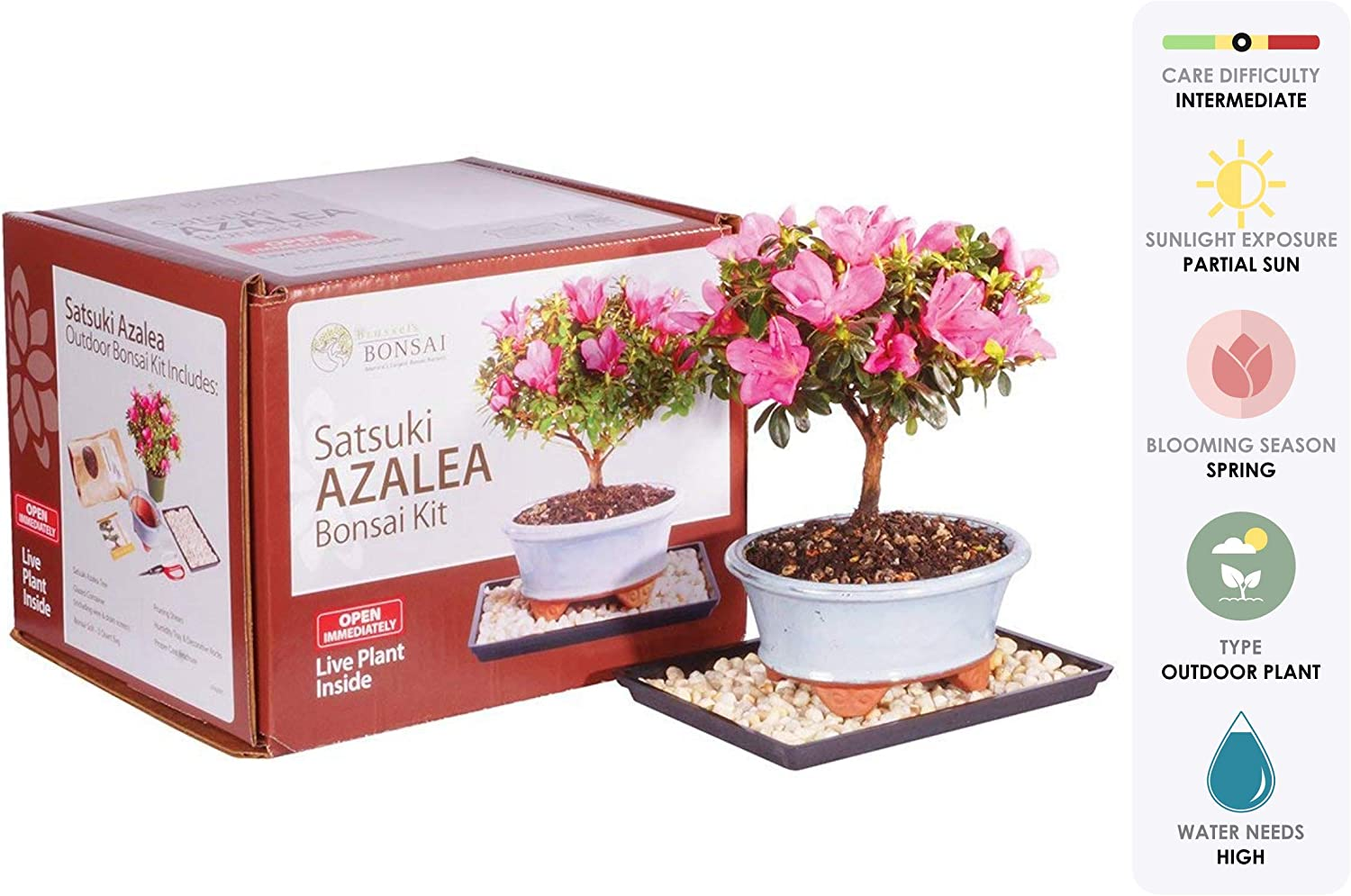 Amazon Com Brussel S Live Satsuki Azalea Outdoor Bonsai Tree Kit 4 Years Old 6 To 8 Tall With Decorative Container Garden Outdoor