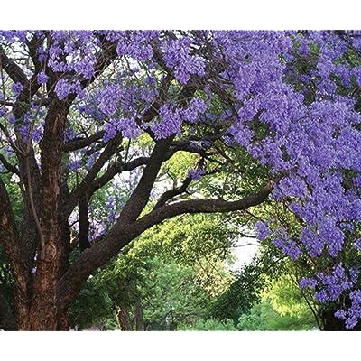 Jacaranda Mimosifolia Tree Live Plant Purple Flowering Brazilian Rose Wood : Garden & Outdoor