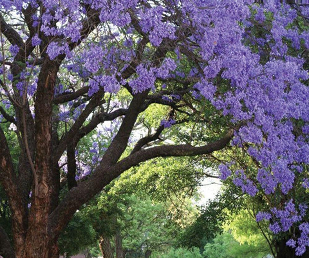 Amazon Com Jacaranda Mimosifolia Tree Live Plant Purple Flowering
