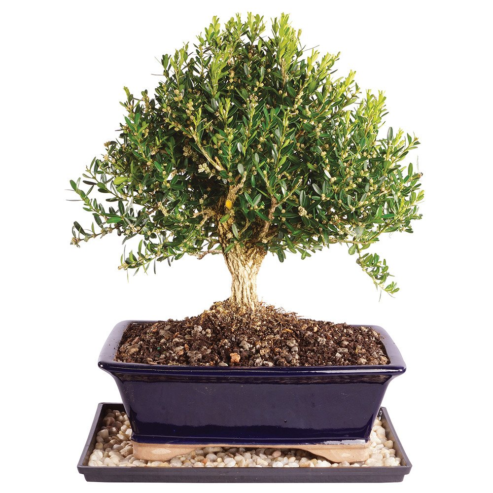 Brussel's Harland Boxwood Bonsai - Large (Outdoor) with Humidity Tray & Deco Rock by Brussel's Bonsai