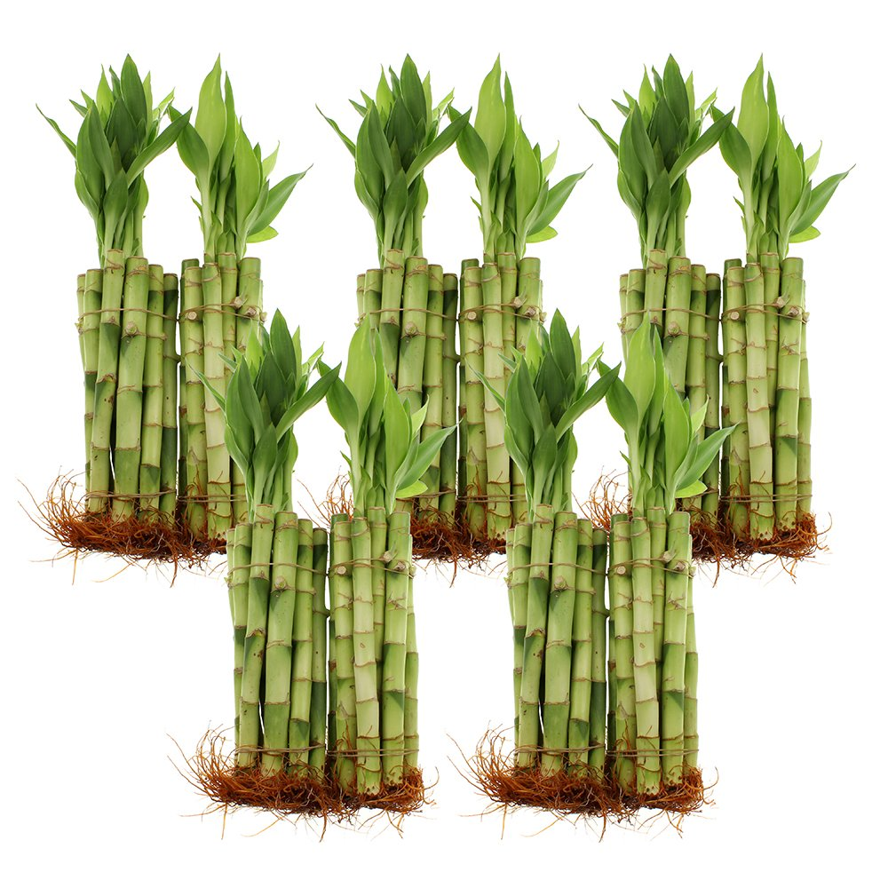NW Wholesaler - 8'' Straight Lucky Bamboo Bundle of 100 Stalks