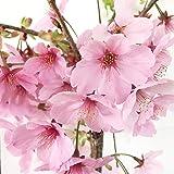 桜 苗木 陽光桜 12cmポット苗 ようこうざくら さくら 苗 サクラ