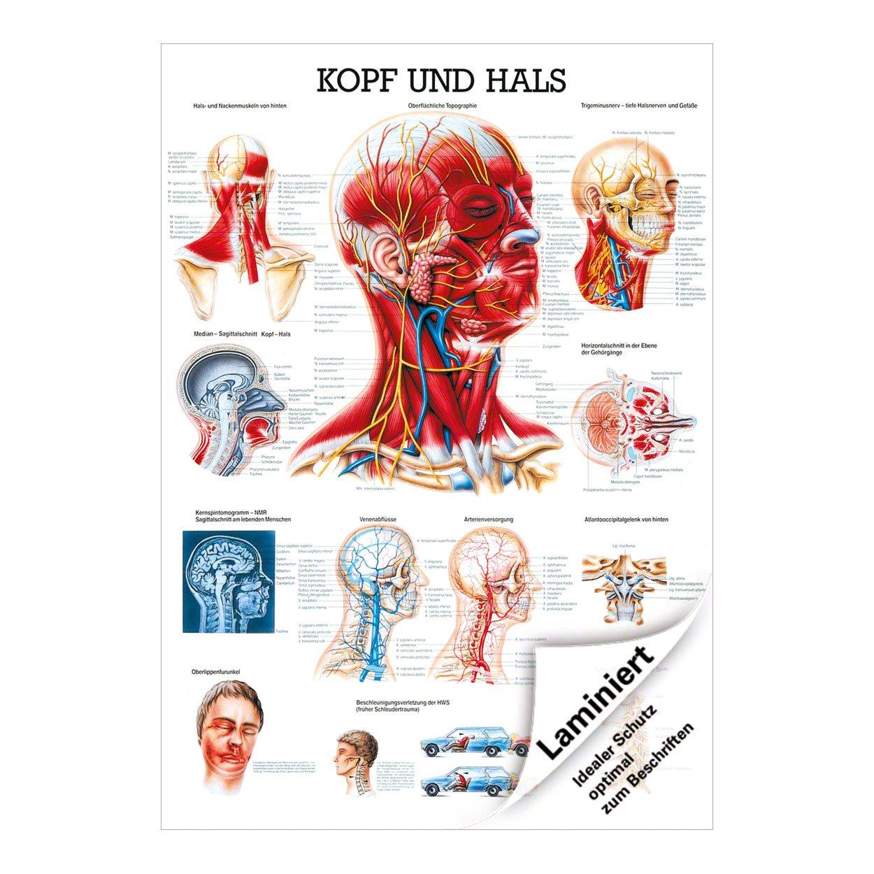 Ausgezeichnet Anatomie Kopf Hals Fotos - Anatomie Und Physiologie ...