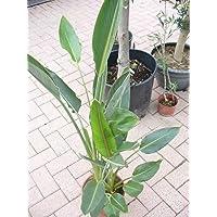 Strelitzia reginae 2-3 Pl. - ave del paraíso