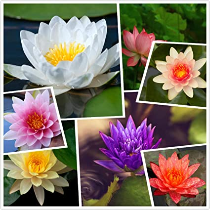 Amazon Com Live Aquatic Hardy Water Lily Flower Plant Mixed Colors Bonsai Lotus Seeds 30 Seeds Aquatic Water Seeds Pre Rooted Garden Outdoor