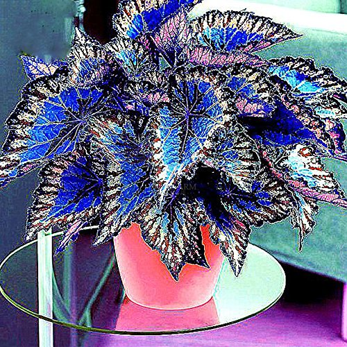 Rare blue Coleus Bonsai Foliage Plants Seeds 30pcs Perfect Colorful Coleus Blumei Beautiful Flowers Home Garden