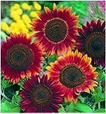David's Garden Seeds Sunflower Evening Sun SL7441 (Red) 50 Non-GMO, Open Pollinated Seeds