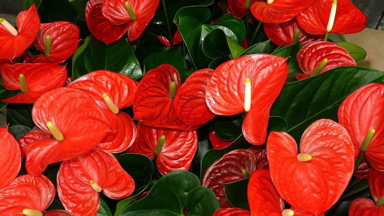Anthurium Red - Live House Plant - Easy to Grow - Florist Quality - Cleans the Air by Florida Foliage (Image #4)