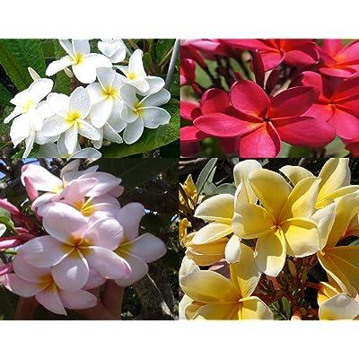 Plumeria Hawaiian Plant Cuttings 4 Plumeria 5 Ginger Roots : Garden & Outdoor