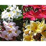 Set of 4 100% Hawaiian Plumeria (Frangipani) Plant Cuttings....From a PEST-FREE certified Hawaiian nursery with the…