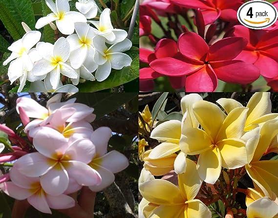 4 HAWAIIAN HIBISCUS PLANT CUTTINGS MIXED ~ GROW HAWAII