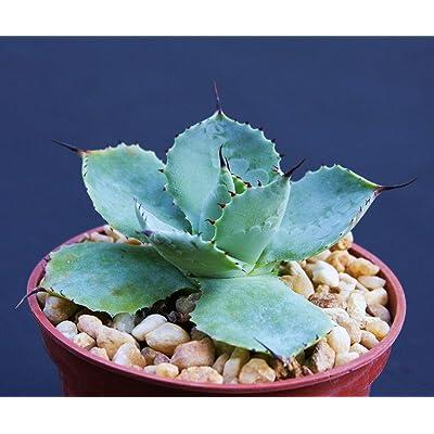 """4"""" Plant Agave potatorum, Exotic Rare Garden Succulent air Plant Cactus Bonsai Pot : Garden & Outdoor"""