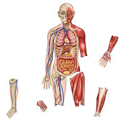 Learning Resources Double-Sided Magnetic Human Body, 3 Foot Tall, 17 Pieces, Ages 5+: Office Products