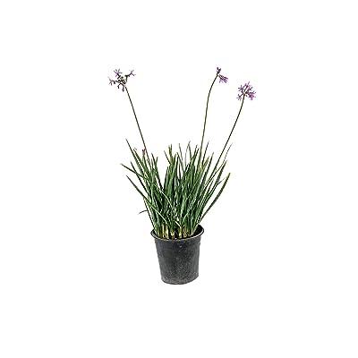Society Garlic - 3 Live Plants in 6 Inch Pots - Tulbaghia Violacea - Easy Care Edible Evergreen Perennial : Garden & Outdoor
