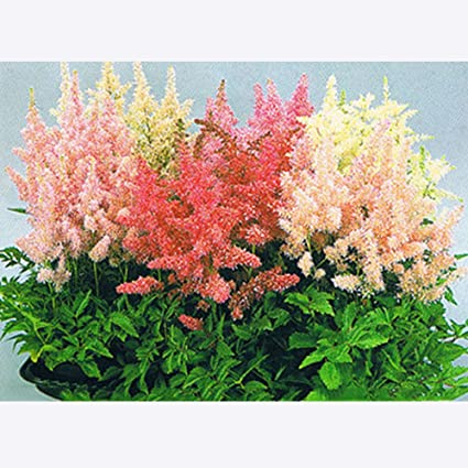 Amazon.com: Mejor jardín semillas mezcla Astilbe Chinensis ...