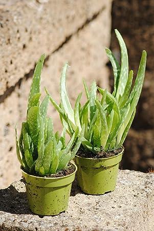 echte aloe vera uppige pflanzen ca 30 cm gesamthohe 4 pflanzen