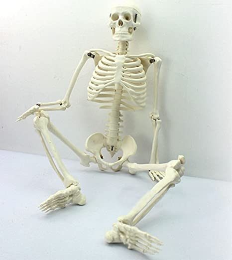 Amazon Tiptiper 45cm Human Anatomical Anatomy Skeleton Medical
