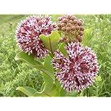 100 Pink Common Milkweed (Asclepias Syriaca) Flower Seeds
