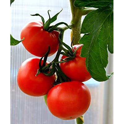 Tropic Tomato Seeds (25 Seeds) : Garden & Outdoor