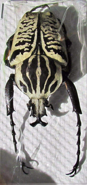 Goliath Beetle Goliathus albosignatus kirkianus Male 60 mm Fast from USA