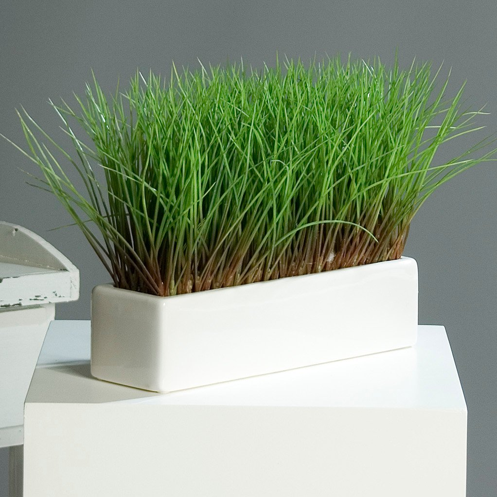 Amazon Acorus Gras Grasbüschel in rechteckiger Schale