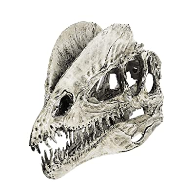 Resin Dinosaur Dilophosaurus Skull Teaching Model Collectibles White : Baby
