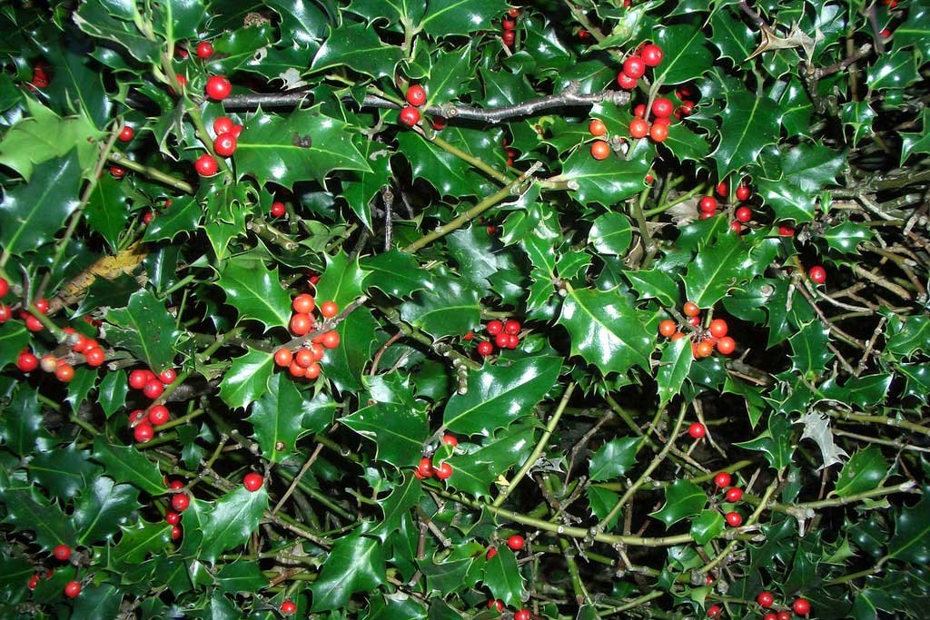 apx 20-30cm in Pots Ilex Aquifolium 10 Holly Hedging Plants Evergreen