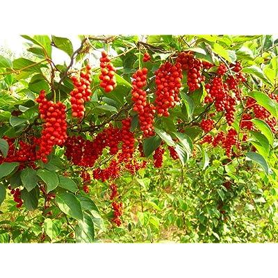 AchmadAnam - 4 cuttings scions Organic Schisandra chinensis Limonnik Wu Wei Zi, Magnolia Vine : Garden & Outdoor