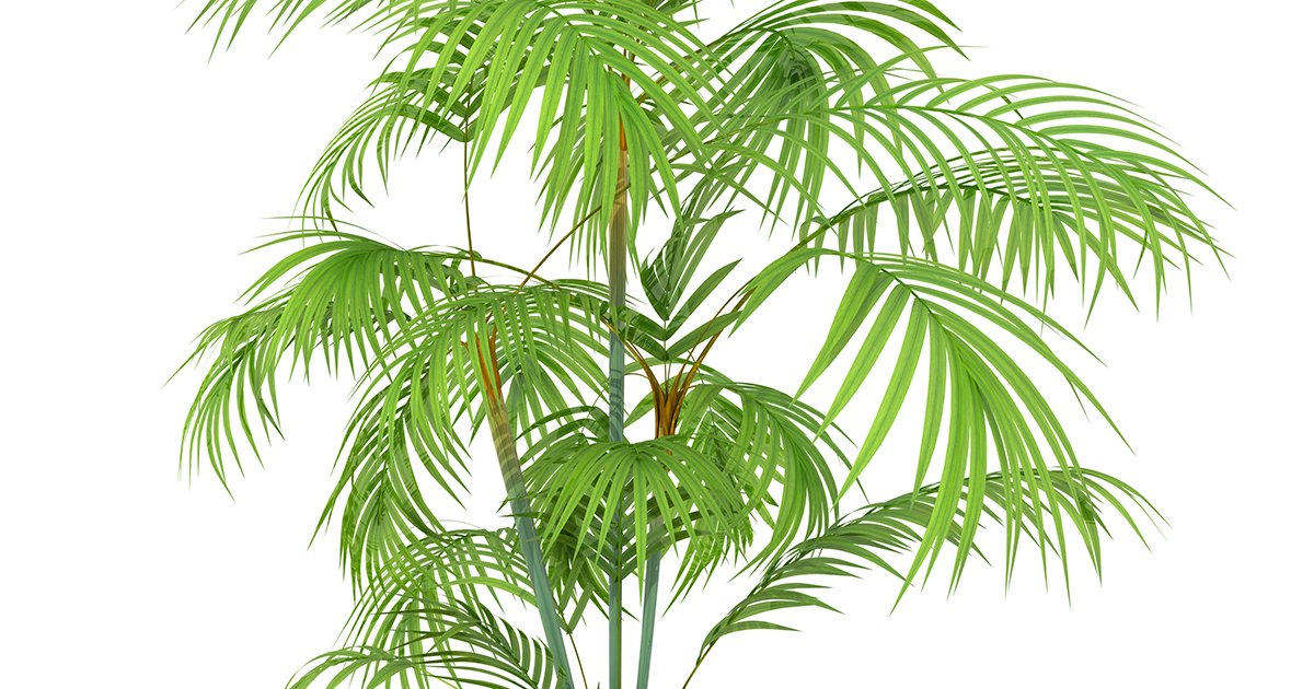 Picture of Live Areca Palm aka Dypsis lutescens Butterfly Palm Foliage Plant Fit 1QRT Pot