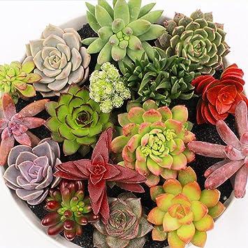 Echeveria Seeds 100pcs Mix Lithops bonsai Succulent Cactus Exotic Plant for Home
