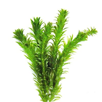 Aquarium Plants Anacharis Bunch Elodea Densa Aquatic Freshwater Aquarium Plant Live PNF22 : Garden & Outdoor