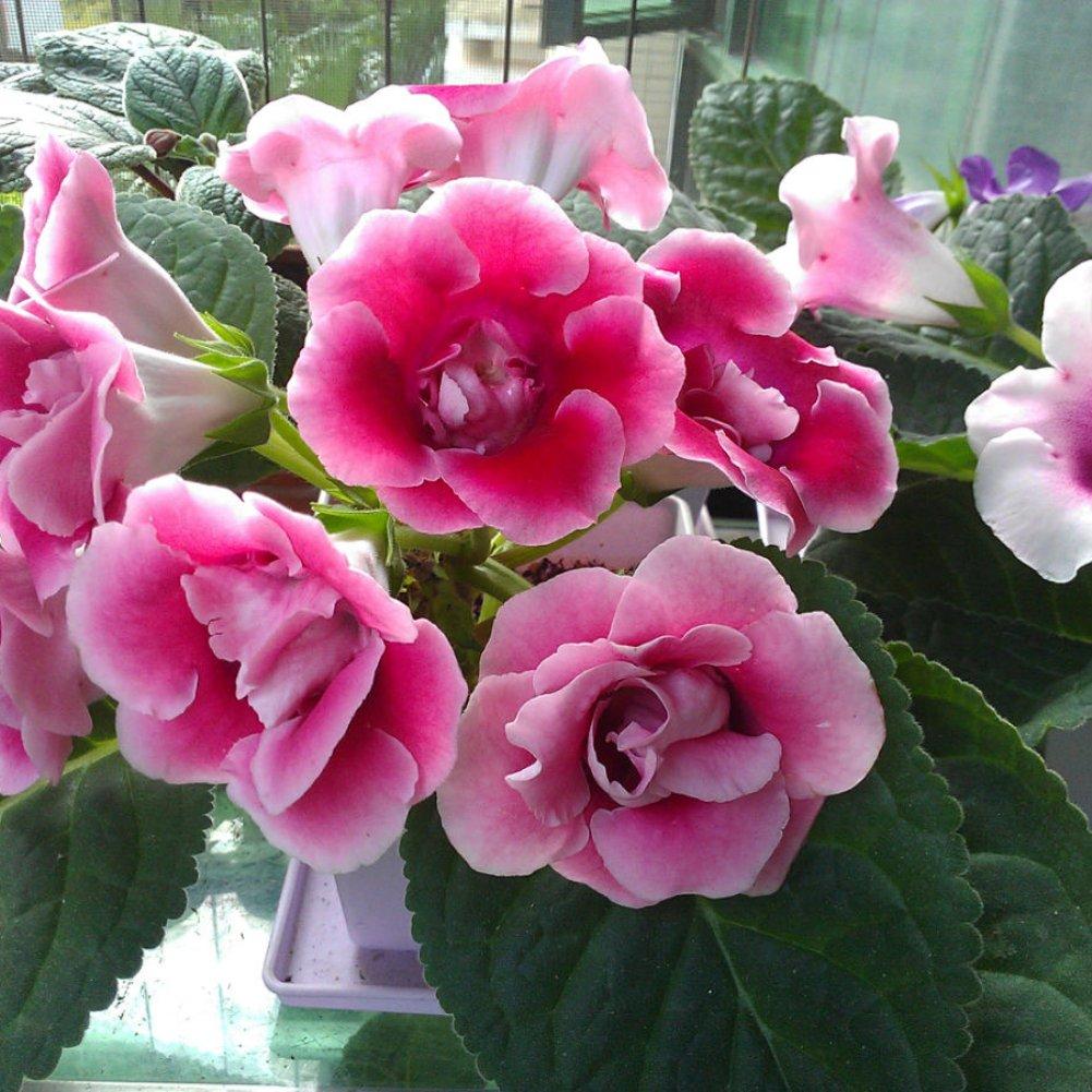 Oce180anYLV 100Pcs Saintpaulia ionantha African violet graines belle fleur jardin plante-bleu