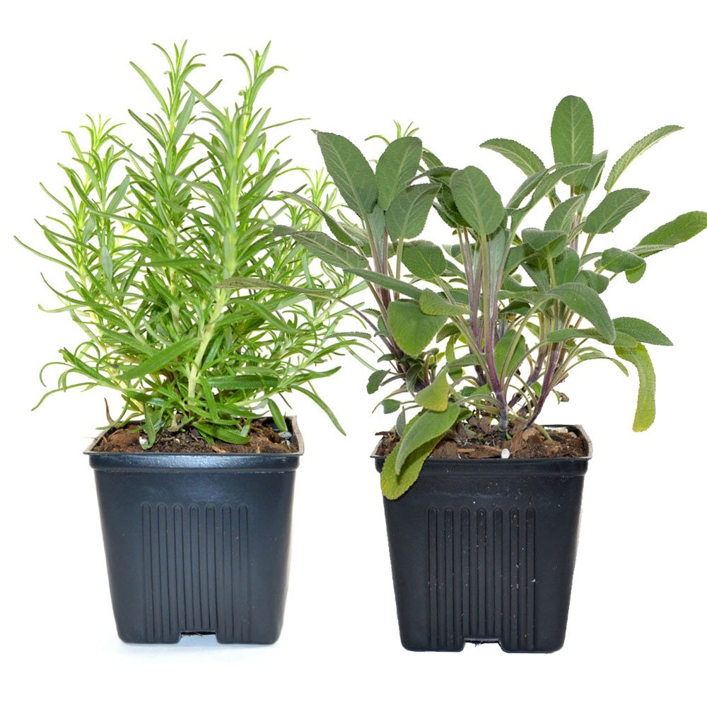 Rosemary & Sage Plants Set of 2 Organic Non GMO Stargazer Perennials