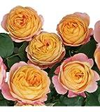 バラ苗 ベビーロマンティカ 国産大苗6号スリット鉢 フロリバンダ(FL) 四季咲き中輪 アンティークタイプ オレンジ系