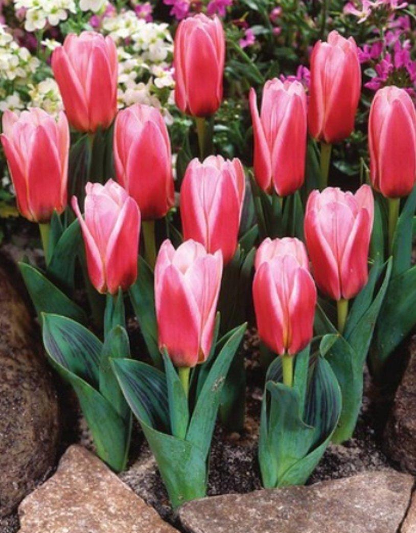 Botanische Tulpen Hearts Delight Tulpenzwiebeln (10 Blumenzwiebeln) Blumenhandel Ullrich