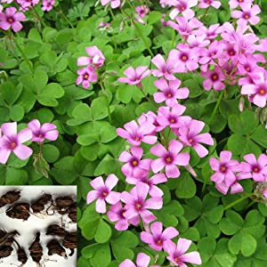 Red Shamrock Red Oxalis Wood Sorrel Flower Oxalis triangularis Purple Shamrock Purple Shamrock Bulbs Red Shamrock for Home Garden Outdoor Planting.(20g)