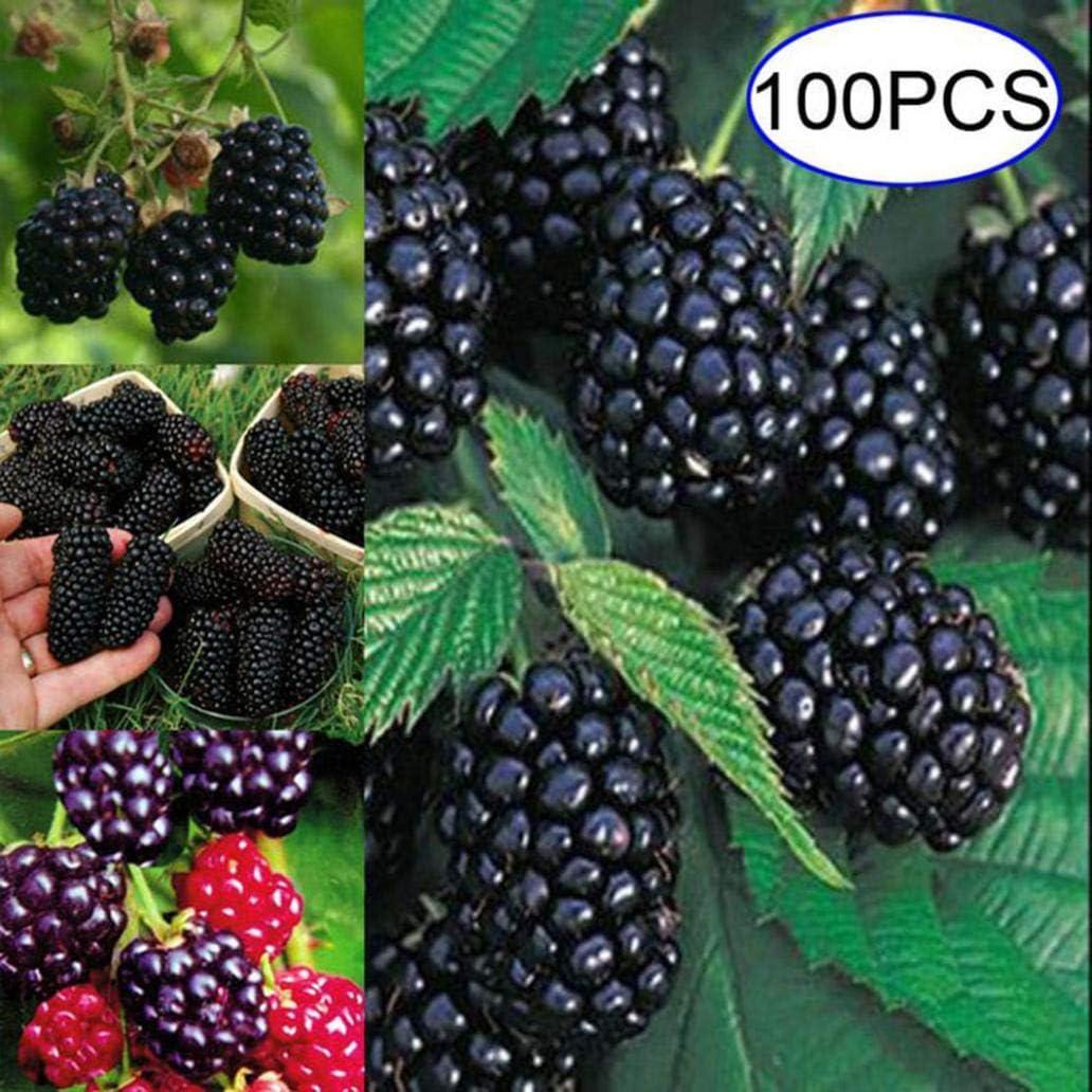 Uticon Semilla De Plantas Perennes Frambuesa Fruta 100pcs Blackberry Negro Jard¨ªN Patio Decoraci¨®N - 100pcs Blackberry Semillas #