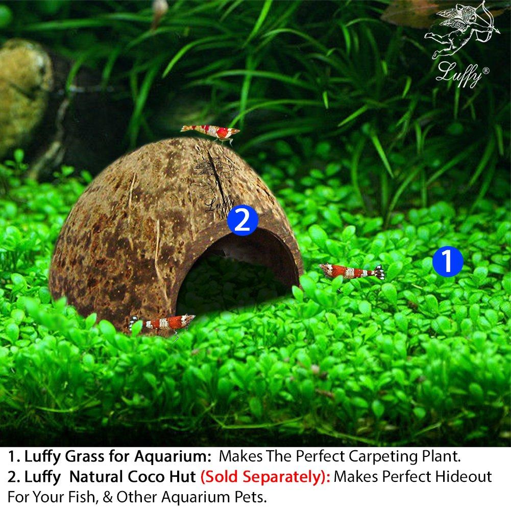 SunGrow Aquarium Temple Plant Seeds, Vibrant Green Tropical Hygrophila  Plant for Freshwater Fish Tanks, Easy to Grow Carpet Plants for Aquarium,  Ideal