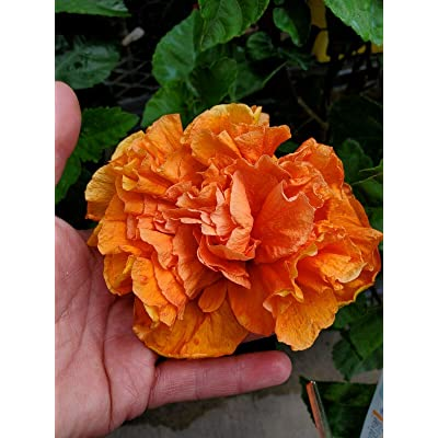 "Tropical Jane COWEL Hibiscus Live Plant 7"" Tall : Garden & Outdoor"