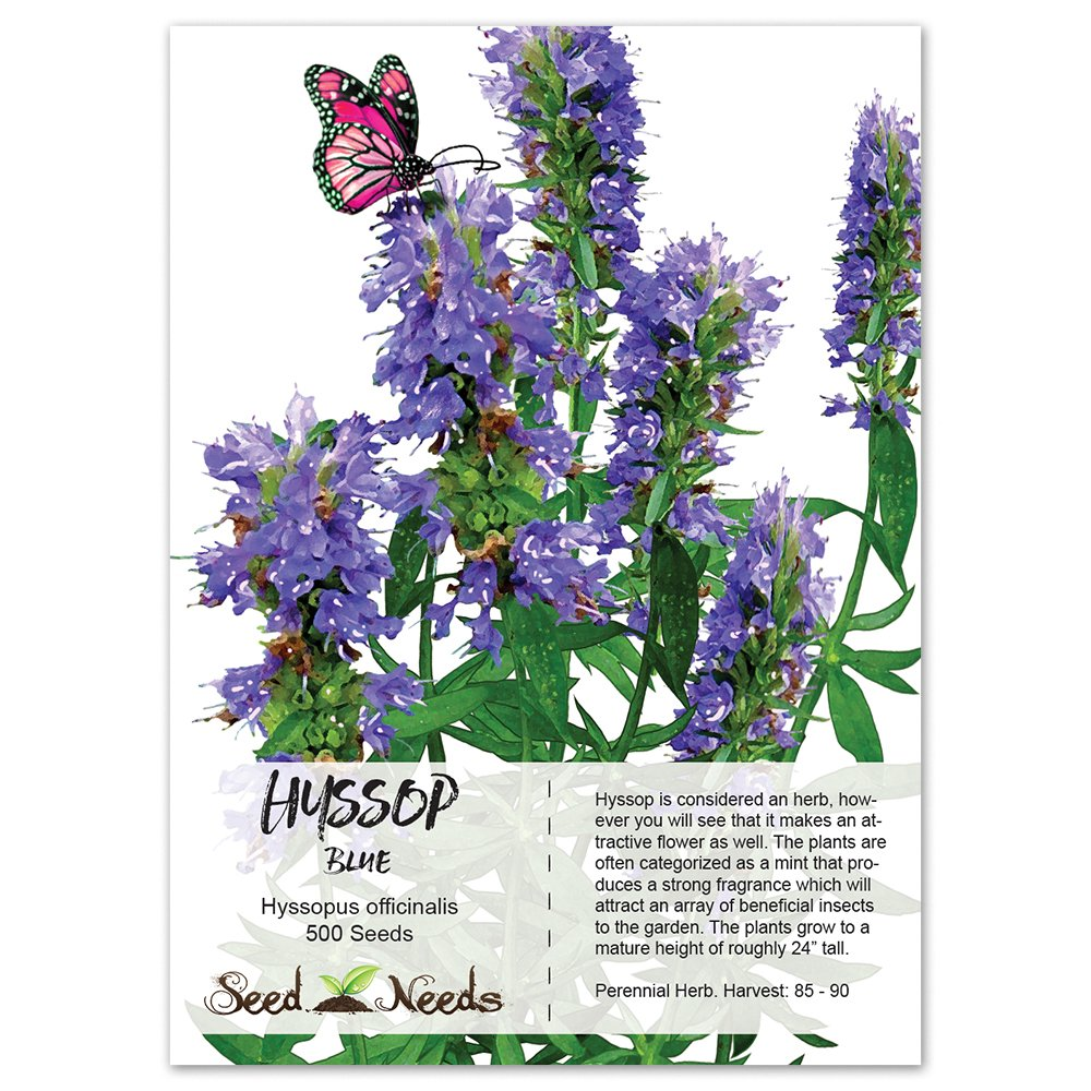 Amazoncom Package of 500 Seeds Hyssop Herb Hyssopus