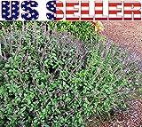 50+ ORGANICALLY GROWN African Blue Spice Basil Seeds NON-GMO Rare Delicious Rare