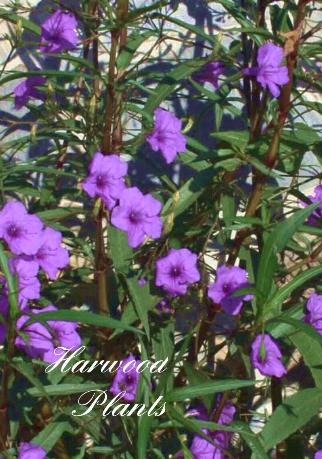 20 Rooted 9'' to 12'' Purple Mexican Petunia Ruellia Brittoniana Flower Plant (Premium Quality) by AY-premium