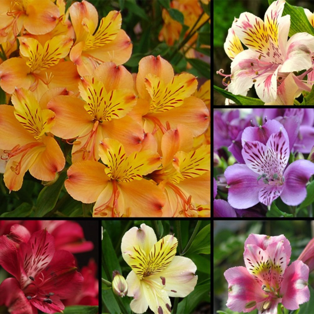 quanjucheer 100 Pcs Alstroemeria Lily Seeds Mix Colors Flowers Plant Garden Bonsai Decor (mixed)